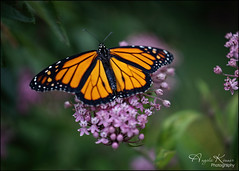 I'm In A Monarch State Of Mind... (angelakanner) Tags: sonynex6 rokinon35mm manualfocus monarch garden longisland