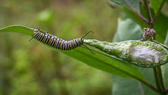Monarch caterpillar, dining on Common Milkweed (hickamorehackamore) Tags: adirondacks asclepias asclepiassyriaca commonmilkweed monarch ny nystate nys newyork newyorkstate warrensburg butterfly caterpillar hostplant larva milkweed