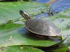 Exploring the Pads (jadedirishgryphon) Tags: turtle lilypad blackrivermarsh wisconsin summer