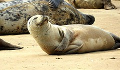 A smile a day (michelle_hall1) Tags: commonseal blakeneypoint wildlifenature