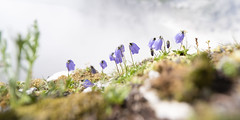 Group Chat (memories-in-motion) Tags: 2019 slowenien soca kanin flowers blue glockenblume spring blossoms slo mountain alpen nature fuji gfx50r canon shift 24mm tse24mmf35lii tilt