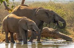 Elephants Drinking Water (moelynphotos) Tags: elephant twoanimals endangeredspecies africanelephant animalsinthewild animalbehavior younganimal elephantcalf drinking water waterhole dripping reflection bush southafrica africa northwestprovincesouthafrica moelynphotos