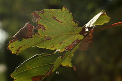 Affected By Dryness And Heat (gripspix (On D-Tox!)) Tags: 20190810 ennahaponar14575mm homemadetiltshiftbellows adaptedtocanonef test experiment fotospaziergang photowalk plant pflanze nature natur leaf blatt acer ahorn