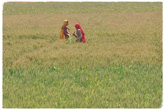Dignity (The Spirit of the World ( On and Off)) Tags: field women saris colorful crops grain farms farm land dignity elegant work food rural india rajasthan northernindia dailylives locals farmers