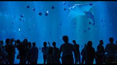 It leans ! (Alexandre LAVIGNE) Tags: diabledemer format1851 pentaxhddfa50mmf14sdmaw pentaxk1 raiemanta 2019 faune aquarium fish humains humans k1 lumière nausicaa poissons spectateurs boulognesurmer pasdecalais france