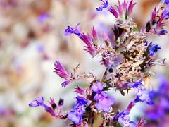 Lavender (starmist1) Tags: lavender poollandscaping bankedhill backyard swimmingpool august sunny mild clear warm summer
