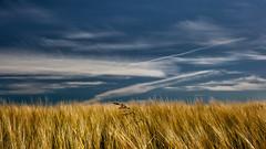 Sky and Cereal Crops (L I C H T B I L D E R) Tags: kryle korn corn field feld pflanze crops cerealcrops sønderby mitteljütland denmark dänemark ringkøbingfjord ringkøbing midtjylland danmark centraldenmark regionringkjøbingcounty nature weizen wheat sky himmel clouds wolken ngc