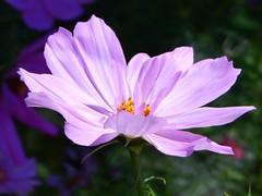 Cosmos (starmist1) Tags: cosmos flower roadsidegarden frontyard hill flowergarden august warm summer clear