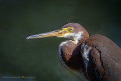 Tricolored Heron (Kevin James54) Tags: airliegarden egrettatricolor nikon500mmpff56 nikond850 tricoloredheron wilmington animals avian bird heron kevingianniniphotocom