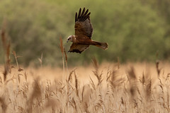 Marsh Harrier (robin elliott photography) Tags: marshharrier circusaeruginosus bird birds wild wildlife nature wings flight feathers canon canon7dmkii canon400mm
