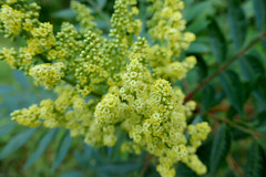 Clusters of tiny cream-colored flowers (Monceau) Tags: clusters tiny creamcolored flowers yellow anthers spikes shrub