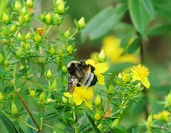 Bumblebee makes its rounds among yellow flowers (Monceau) Tags: yellow flowers bumblebee busy visiting inmotion macro bee smileonsaturday beeautiful