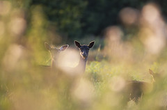 Fallow In The Evening Sun (samueledwardhyde) Tags: fallow deer sun sunset grass wildlife nature mammal animal ashdown forest nikon nikkor 200500mm d7100 doe fawn herd outside outdoors brown