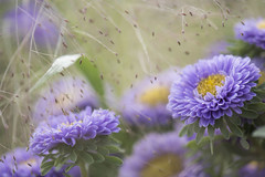 Des reines marguerites **---+°-° (Titole) Tags: chinaaster purple titole nicolefaton eragrostisspectabilis thechallengefactory unanimouswinner challengeyouwinner 15challengeswinner