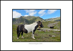 A Little Hoarse - NDSC5248 (petersrockypics) Tags: pony wildpony welshmountainpony welshhillpony landscape scenery scenic snowdonia snowdonianationalpark wales welshmountains cymru countryside nikon nature northwales nikond5200 naturalcolours glyderau glyders ogwenvalley idwal cwmidwal
