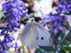 Small White Butterfly (starmist1) Tags: butterfly smallwhite lavender flower poollandscaping landscapedbank summer august mild clear warm