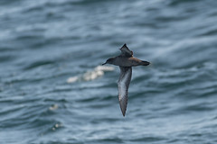 Sooty-shearwater2 (lnrwildphoto) Tags: scilly scillyisles pelagic boat nikon d850 200500 bird shearwater sooty