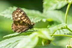 Bont zandoogje, Pararge aegeria (jos....) Tags: bontzandoogje natuur lechtal natuurpunt insect oostenrijk dier parargeaegeria nieuwetrefwoorden vlinder reis