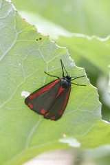 Sint-jacobsvlinder, Tyria jacobaeae (jos....) Tags: natuur lechtal tyriajacobaeae sintjacobsvlinder natuurpunt oostenrijk dier insect vlinder nieuwetrefwoorden reis