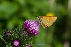 Groot dikkopje Ochlodes sylvanus (jos....) Tags: natuur lechtal ochlodessylvanut natuurpunt oostenrijk reis dier insect nieuwetrefwoorden vlinder grootdikkopje