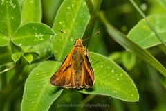 groot dikkopje, Ochlodes sylvanus (jos....) Tags: natuur lechtal ochlodessylvanus natuurpunt oostenrijk reis dier insect nieuwetrefwoorden vlinder grootdikkopje