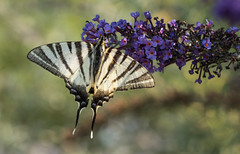 L'autre beau gosse (Eric Penet) Tags: papillon butterfly macro macrophotographie hauteloire animal sauvage france faune wildlife wild auvergne août été flambé scarce swallowtail