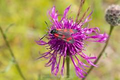 Sint-jansvlinder, Zygaena filipendulae (jos....) Tags: sintjansvlinder natuur lechtal zygaenafilipendulae natuurpunt oostenrijk dier insect nieuwetrefwoorden vlinder reis
