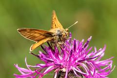 Groot dikkopje Ochlodes sylvanus (jos....) Tags: natuur lechtal reis natuurpunt dier oostenrijk ochlodessylvanus insect vlinder nieuwetrefwoorden grootdikkopje