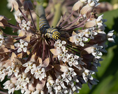 Monarch Caterpillar on Common Milkweed (Chelini & Oeffling) Tags: northbranchrichmondil caterpillar milkweed monarch prairie mccd