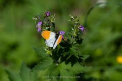 Oranjetipje, Anthocharis cardamines (jos....) Tags: natuur lechtal anthochariscardamines natuurpunt dier oostenrijk oranjetipje insect vlinder nieuwetrefwoorden reis