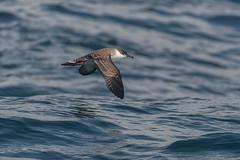 Great-shearwater3 (lnrwildphoto) Tags: scilly scillyisles nikon d850 200500 pelagic boat great shearwater bird