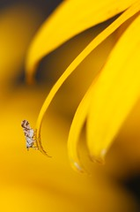 Tiny fly on yellow flower. (Gillian Floyd Photography) Tags: tiny fly yellow flower macro