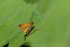 Groot dikkopje, Ochlodes sylvanus (jos....) Tags: natuur lechtal groot dikkopje natuurpunt dier reis ochlodessylvanus insect vlinder nieuwetrefwoorden oostenrijk
