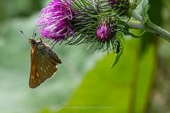 Groot dikkopje,  Ochlodes sylvanus (jos....) Tags: natuur lechtal reis natuurpunt dier oostenrijk ochlodessylvanus insect vlinder nieuwetrefwoorden grootdikkopje