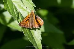 Groot dikkopje, Ochlodes sylvanus (jos....) Tags: natuur lechtal ochlodessylvanu natuurpunt oostenrijk reis dier insect nieuwetrefwoorden vlinder grootdikkopje