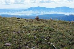A Marmot (M///S///H) Tags: rx1 bullofthewoods bullofthewoodstrail carsonnationalforest hike hiking marmot morning mountains newmexcio nm outside pointandshoot sony sonyrx1 taosskivalley walking wheelerpeakwilderness wildlife