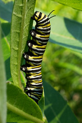 Monarch caterpillar (nervous system) Tags: caterpillar home monarch palenville