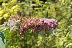 """Denewood"", 55 Alum Chine Road, Westbourne, Bournemouth, Dorset (Alwyn Ladell) Tags: dorset bh48du bournemouth westbourne alumchineroad denewood buddleiaxweyeriana pinkpagoda"