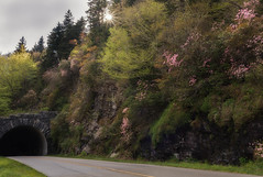 Blue Ridge Parkway Mountain Laurel (Louis Olivier Jr.) Tags: parkway flowers mountains spring travels hiking northcarolina wildflowers