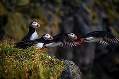 Iceland Puffin Flight (Jerry T Patterson) Tags: iceland puffins kirkjufell keflavik vik godafoss bluelagoon blackdiamondbeach vestrahhorn eystrahorn skógafoss