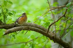 Robin (Eric Tischler) Tags: robin bird tree green branch wildlife ohio