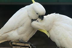Just a Smooch (PhotosbyDi) Tags: cockatoo sulphurcrestedcockatooaustralianwhitecockatoo bird backyardbirds panasoniclumix panasonocfz300 lumixfz300