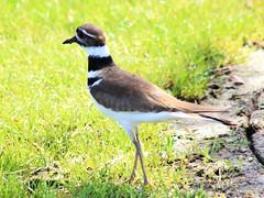 killdeer (Charadrius vociferus) (im2fast4u2c) Tags: killdeer charadrius vociferus animal wildlife bird sheldonlakestatepark