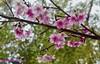 Sakura, some details, Forest Hills, Jandira, Brazil (Sebastiao P Nunes) Tags: prunusserrulata rosaceae sakura cerejadojapao hiragana panasonic lumixfx300 snunes spnunes nunes spereiranunes