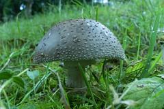 Amanita rubescens (parelamaniet) - Gevaert Noord - Belgie (wietsej) Tags: amanita rubescens parelamaniet gevaert noord belgie paddenstoel mushroom fungus nature sony a6000 zeiss sel24f18z 24 mm 18 macro