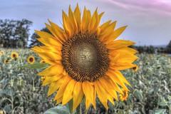 IMG_7326_Enhancer (Schmiddy91) Tags: hdr canon 77d sigma sigma24mmsuperwideii sunflower sonnenblume