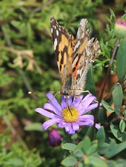 Having a sweet drink (Jenny Thynne) Tags: butterfly insect pollinator lepidoptera brisbane queensland australia australianpaintedlady vanessakershawi daisy brachyscome nymphalidae