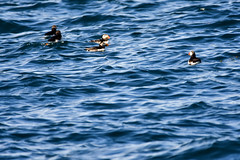 Puffins (Andy Nutter) Tags: scotland puffins
