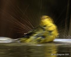 Full Body Bathing (pandatub) Tags: ebparks ebparksok bird birds warbler yellowwarbler ardenwood