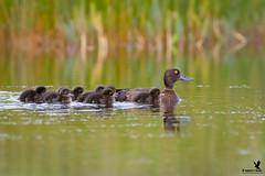 Tufted Duck Family (Osprey-Ian) Tags: tuftedduck iceland